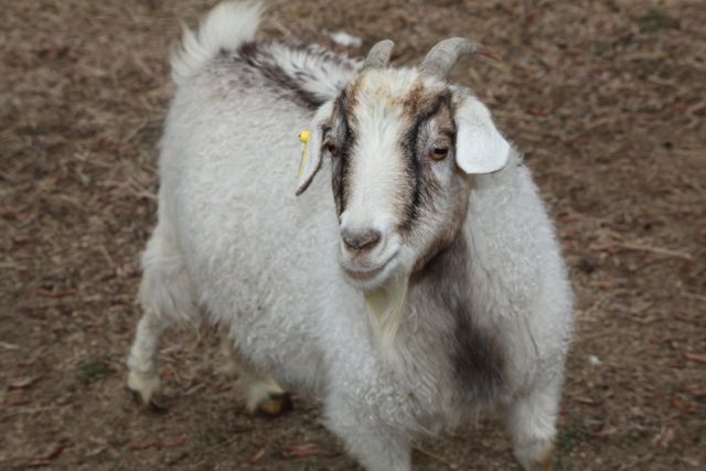 A mature cashmere goat.
