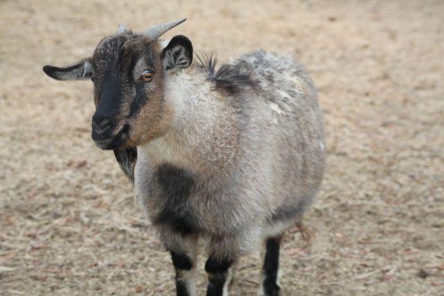A curious cashmere goat