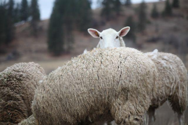 Effie - a mature Montadale ewe